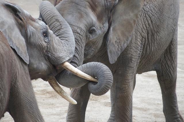 Leben Elefanten